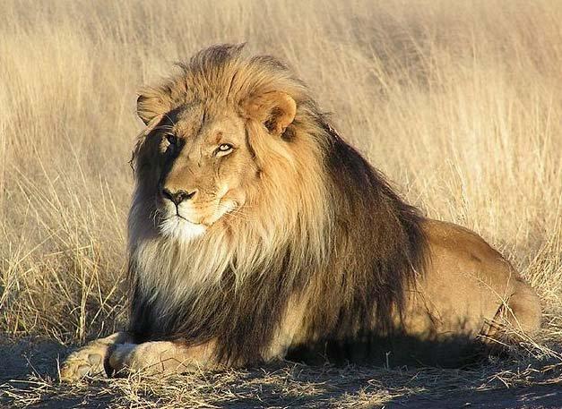 Leão na Namíbia - Foto de yaaaay - Wikipédia