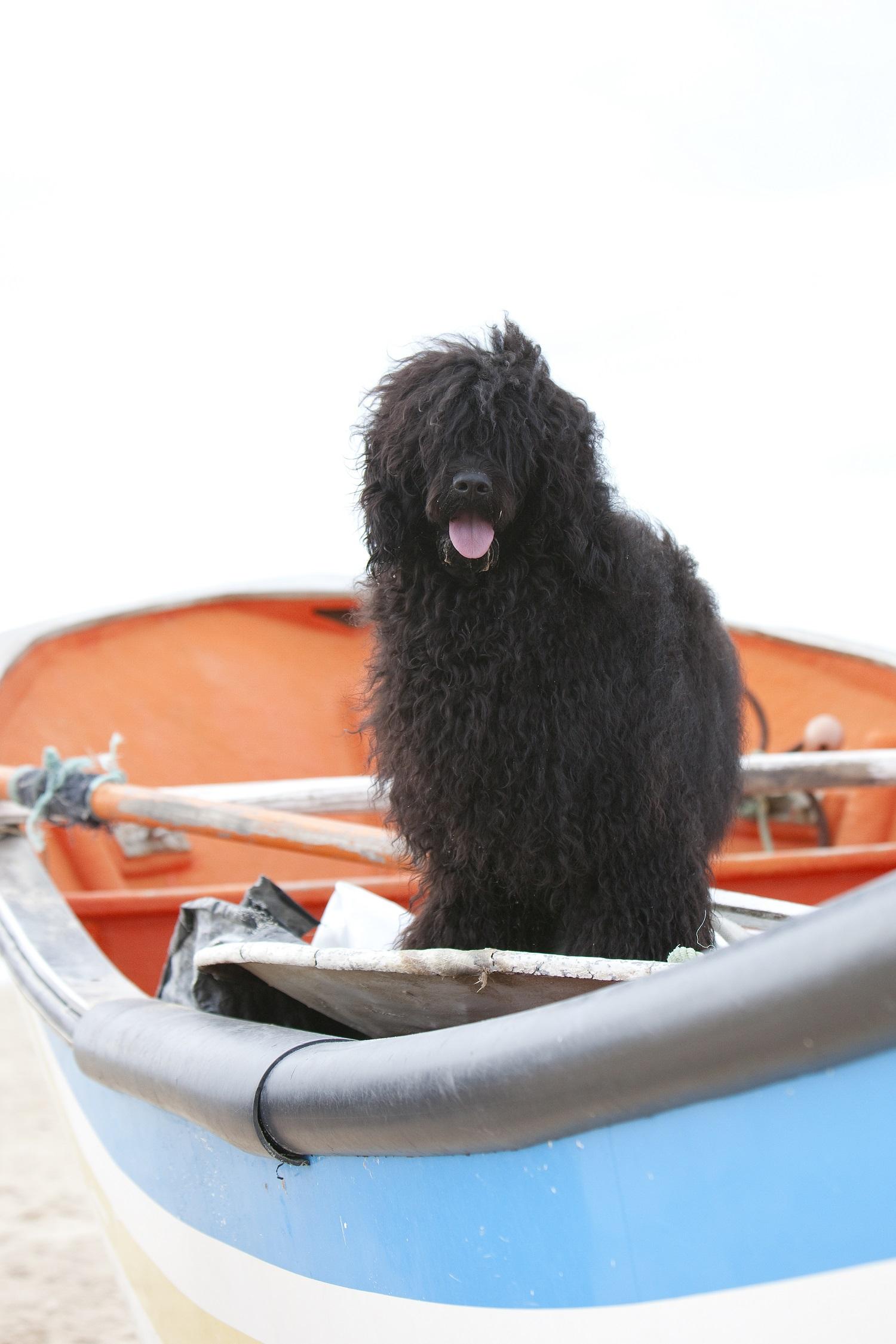 Cães de Água reunidos em Tavira